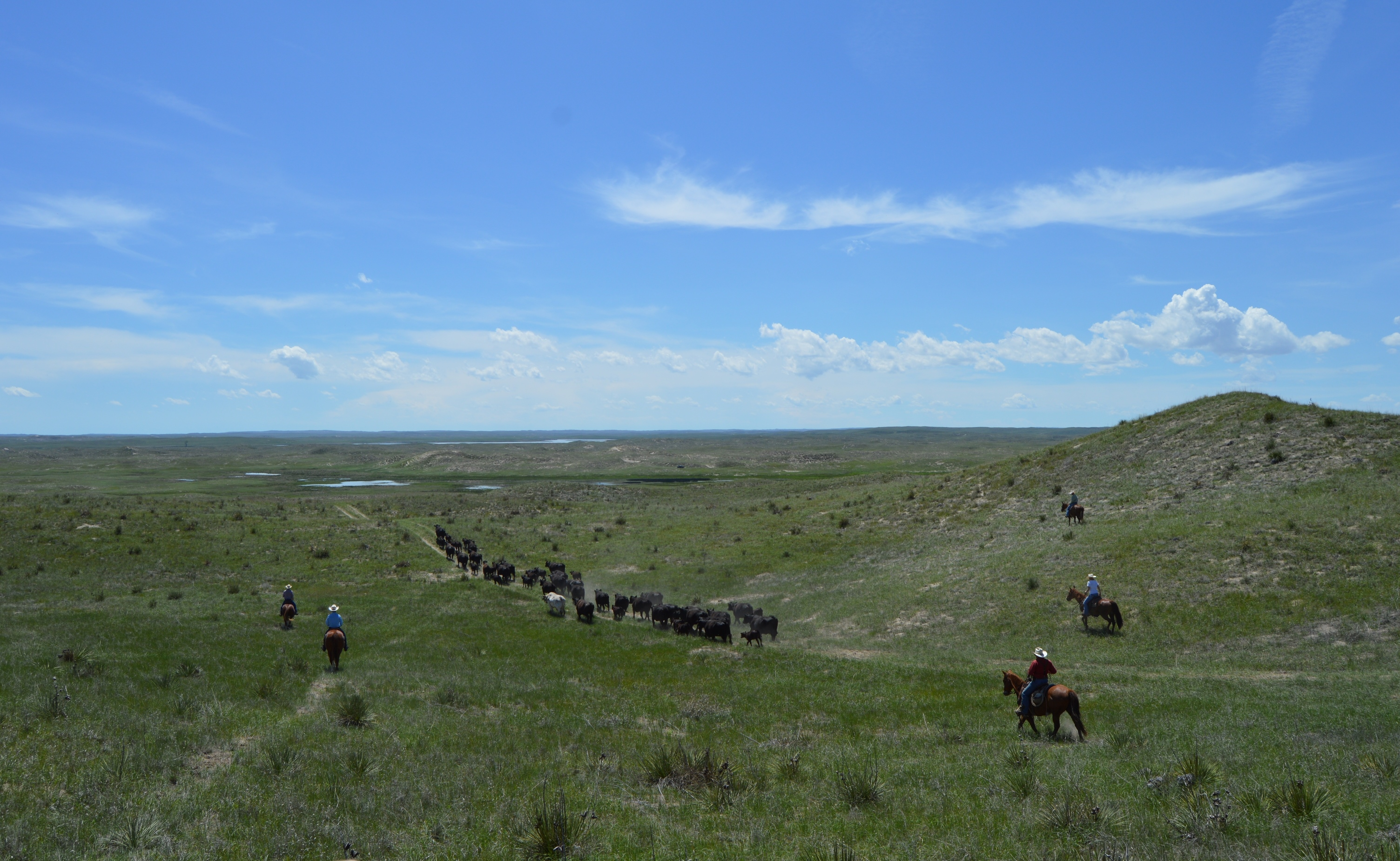 NCTA cattle graze at the Graves Ranch in Garden County