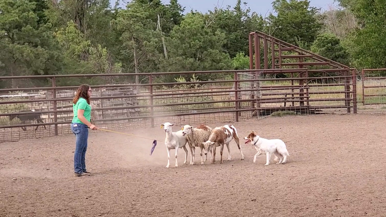 Anna Whyman and her dog, Bella, work on moving sheep during a practice session last fall. She started training and using stock dogs while an agribusiness student at NCTA.  (M. Crawford / NCTA News photo)