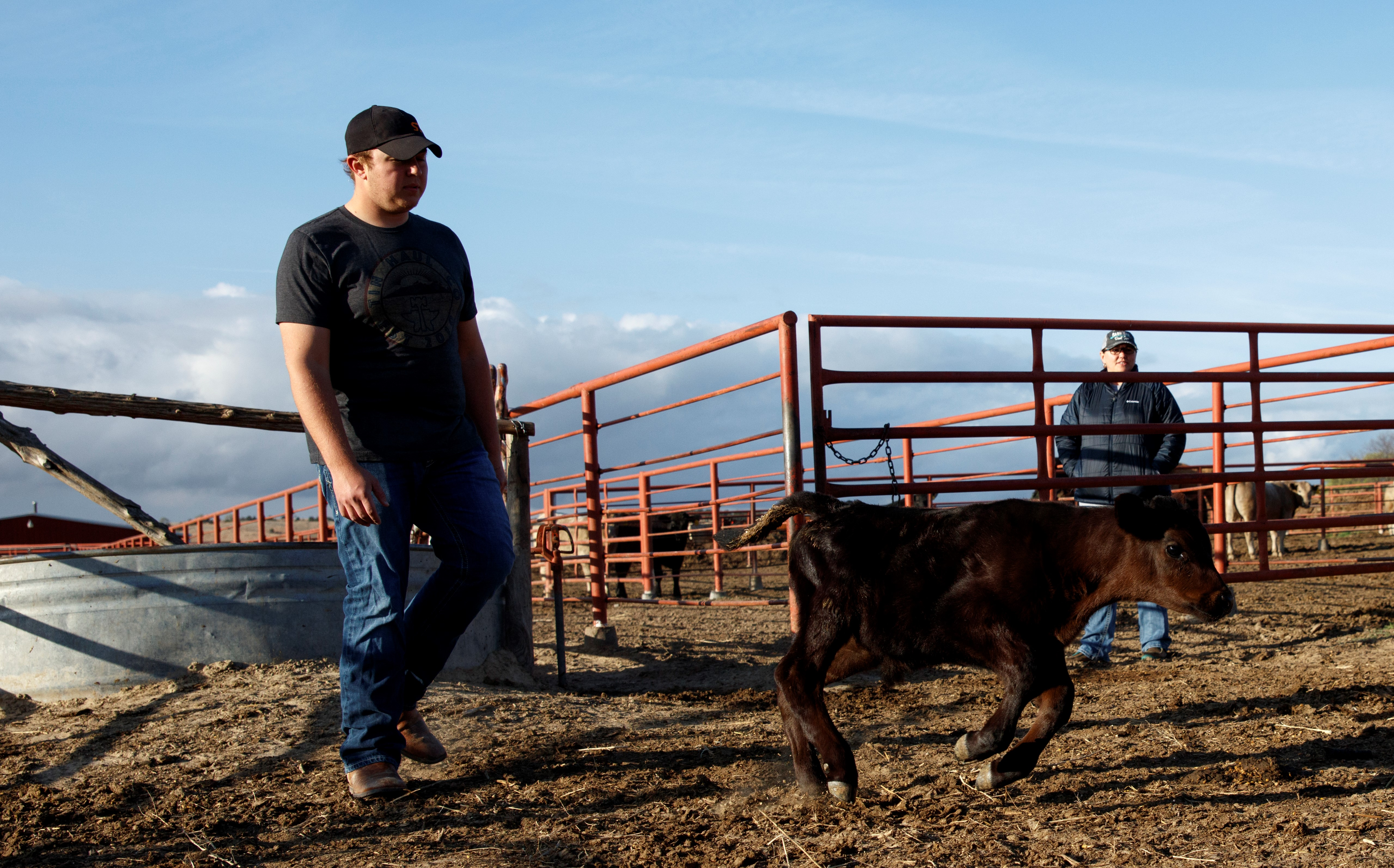 A student moves a calf at the NCTA farm during animal science class. (Photo by Craig Chandler / NCTA)