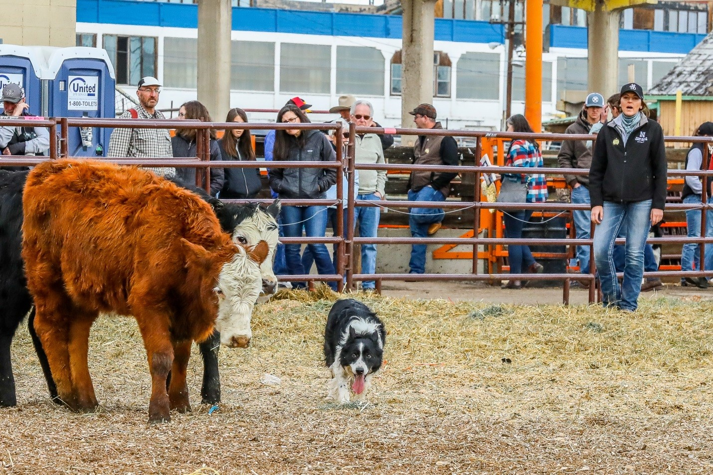 The NCTA Stock Dog Team returns to the National Western Stock Show cattle dog trials with six Aggies competing in the Intermediate Division. (NCTA Photo)