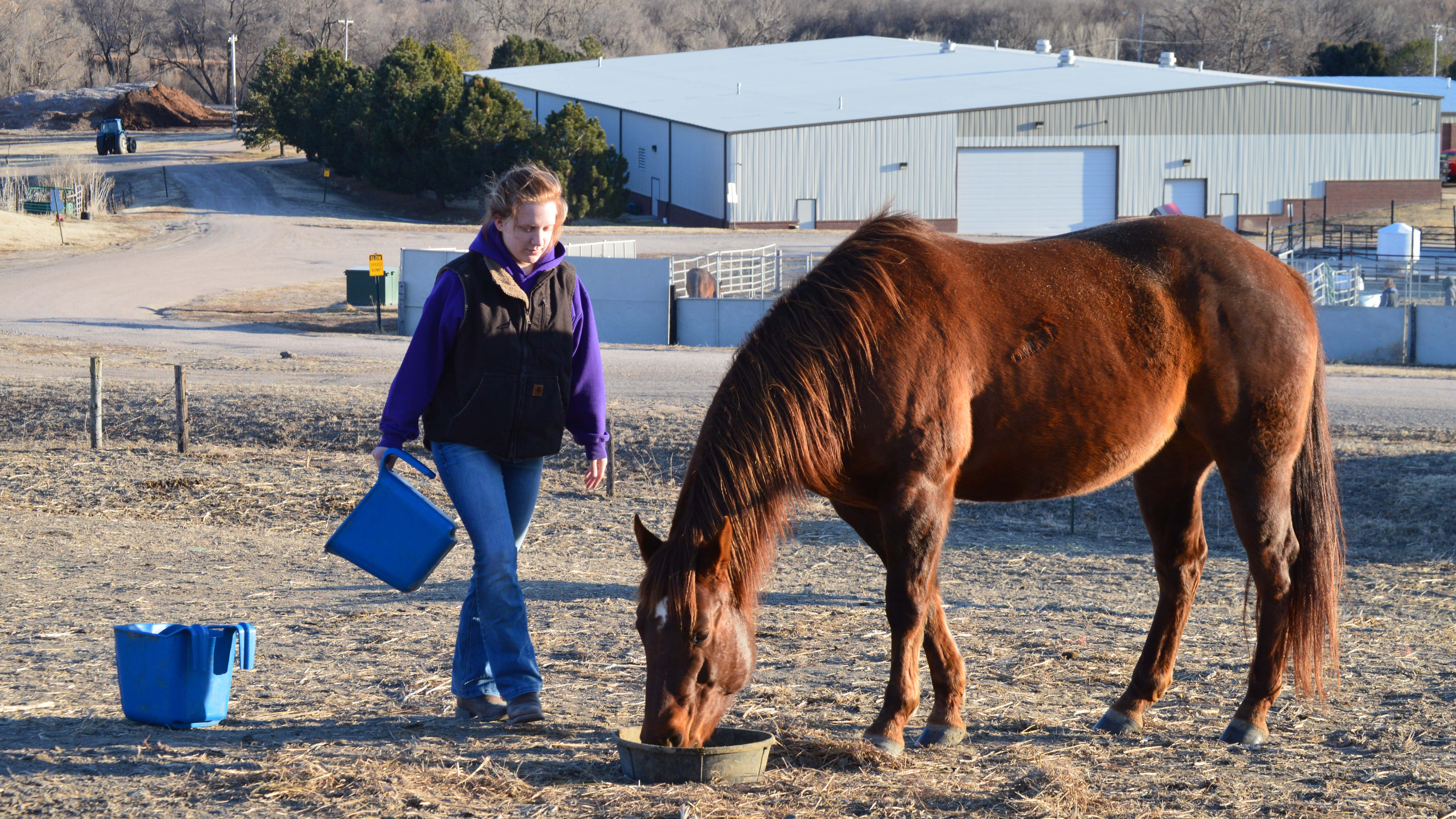 Feeding horses at the NCTA campus in February 2020. Many winter classes and public events are at the indoor arena of the Livestock Teaching Center shown in the background. (Crawford / NCTA News photo)