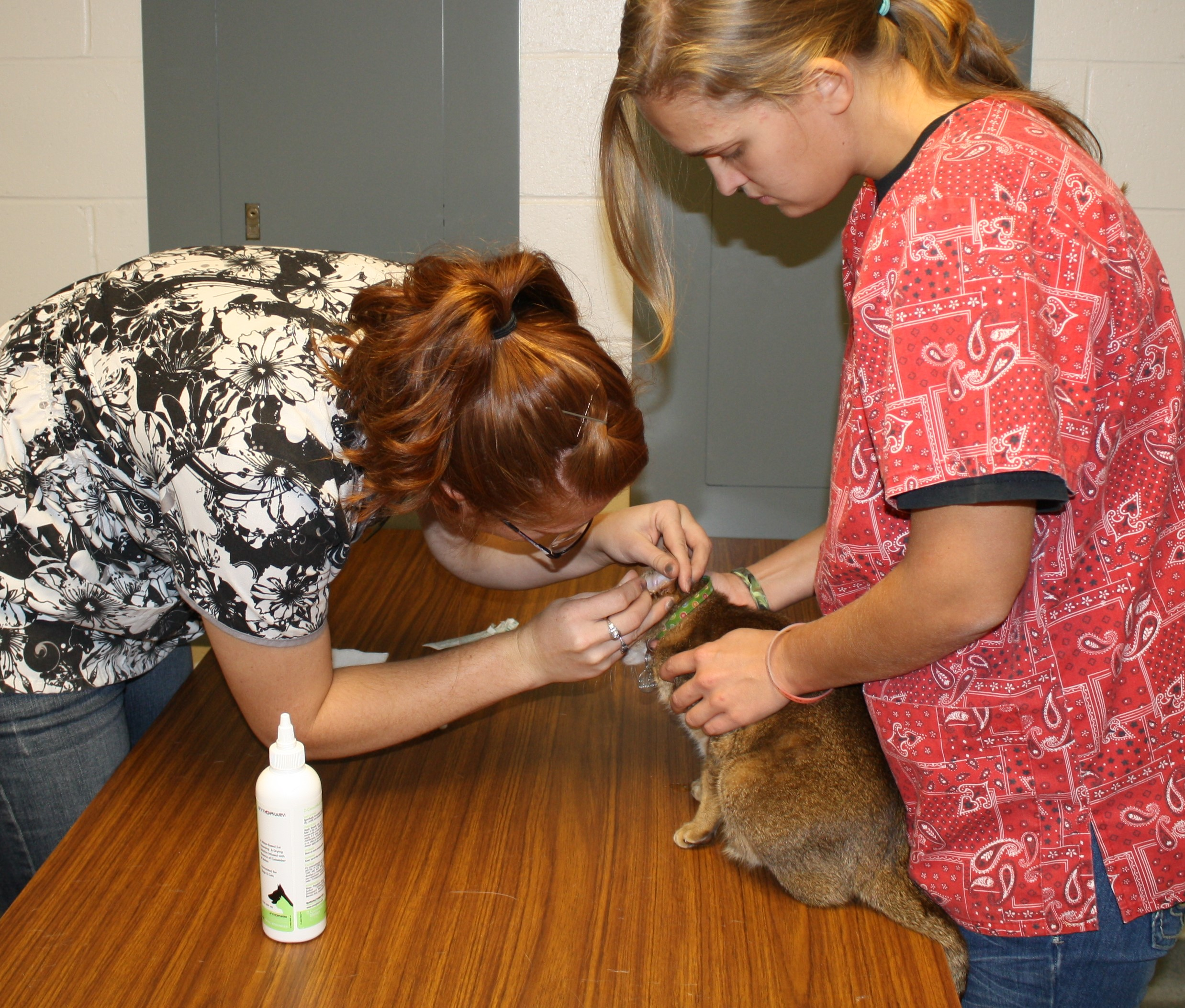 Vet tech students in an Animal Care class check a cat's ears. This fall's Pet Spa Day is Saturday. (NCTA file photo)