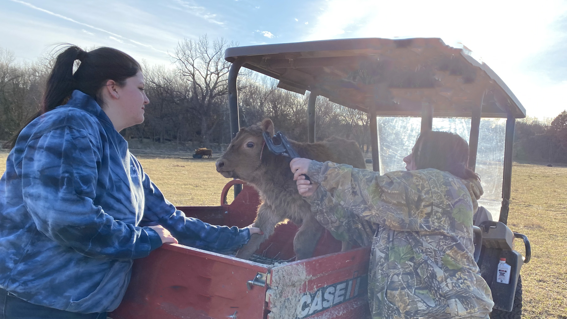 NCTA's cow herd is calving, appropriately during National Ag Week. Animals Science major Kenna Graves, left, and Veterinary Technology major Gaby Campisi, right, ear tag a calf. (Photo by Annie Bassett, NCTA animal science student