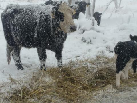 A blizzard swept high winds with heavy snow accumulations across northern Nebraska on March 13, creating hardships for many ranchers during calving. (M. Crawford / NCTA News)