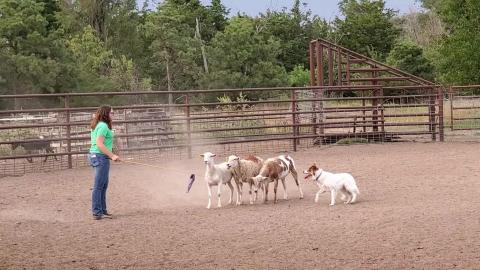 Anna Wyman and her dog, Bella, herd sheep at the farm of Kelly and Jo Popp, located south of Curtis. Whyman will compete in North Platte and at the Nebraska State Fair on Sept. 3. (Mary Crawford photo / NCTA News)