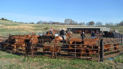 Roundup for branding spring calves at Aggieland, Nebraska College of Technical Agriculture. (Crawford / NCTA News)