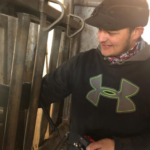 Cj Monheiser of Hershey was named Aggie of the Month for November. Here, he is chuteside processing cattle at the NCTA Farm. (Photo by D. Wellman/NCTA student)