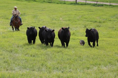 Low-stress cattle handling using a stock dog by Juan Reyes of Wheatland, Wyoming NCTA, Curtis, offers a free public workshop March 30 at 6:30 p.m. on campus.