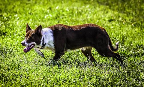 Border collies are popular dogs used in livestock handling. (Courtesy photo)