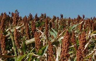 Sorghum is a viable alternative for limited irrigation situations. A 2018 Sorghum Symposium will be January 18 at NCTA. (S. Cochrane/UNL Photo)