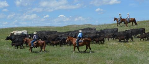 Livestock management through hands-on work with the NCTA Heifer Link program is popular.  The beef herd trails to summer pasture. (Crawford/NCTA News Photo)
