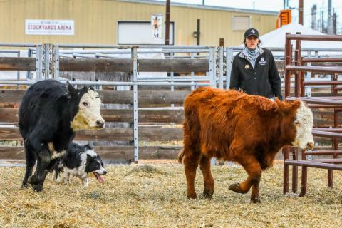NCTA student Baleigh Miller and Dave move cattle in Denver last month. Working stock dogs will be featured Sunday at Kearney. (Photo credit to XP Ranch Photography)