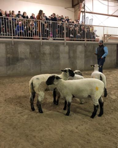 Sheep evaluation during a recent FFA contest at NCTA in Curtis. (Photo by Annie Bassett, NCTA student)